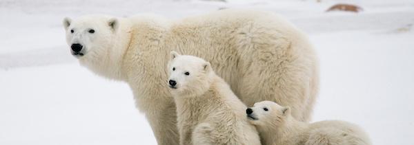 pozorování ledích medvědů v Kanadě